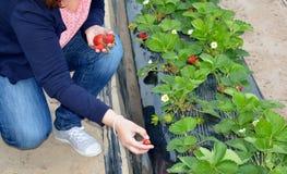 Vrouw in aardbei het plukken Stock Afbeeldingen