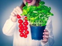 Vrouw in de kruiden van de hoedenholding van basilicum en rode tomaten stock foto's