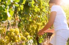 Vrouw die aan bossen van druiven in een wijngaard neigen Royalty-vrije Stock Foto's