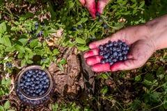 Vrouw die blueberrys plukken Stock Foto