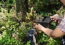 Vrouw die blueberrys plukken Royalty-vrije Stock Afbeeldingen