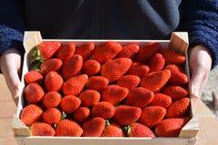 Vrouw die doos van sappige rode aardbeien steunen stock foto's