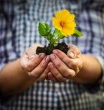 Vrouw die een groene jonge plant met gele bloem in haar hand houden Stock Foto's