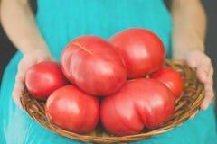 Vrouw die een mand op haar knieën met zeer grote tomaten houden Het concept van de oogst De herfst verlaat grens met diverse groe Royalty-vrije Stock Afbeelding