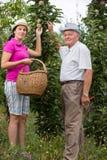 Vrouw die een oudere man in de boomgaard helpen, om appel te plukken stock foto