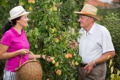 Vrouw die een oudere man in de boomgaard helpen, om peer te plukken royalty-vrije stock foto's