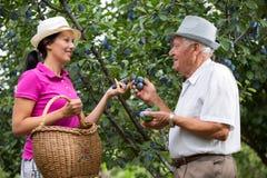 Vrouw die een oudere man in de boomgaard helpen, om pruim te plukken Stock Afbeelding