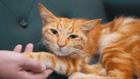 Vrouw die een rode Egyptische kat strijken die op de stoel liggen Langzame Motie stock footage