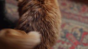Vrouw die een rode kat strijken die op de vloer liggen 4K dichte omhooggaand stock videobeelden