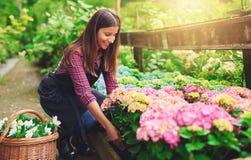 Vrouw die een roze hydrangea hortensia selecteren bij een kinderdagverblijf royalty-vrije stock fotografie