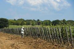 Vrouw die een Wijngaard in Toscanië controleren Royalty-vrije Stock Fotografie
