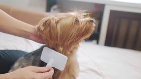 Vrouw die haar hond borstelen de grappige video van de levensstijlhond meisje die de een weinig ruwharige zorg van het hondhuisdi stock footage