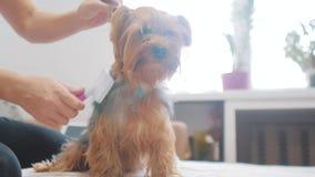 Vrouw die haar hond borstelen hond grappige video meisje die de een weinig ruwharige zorg van het hondhuisdier kammen vrouw die e stock footage