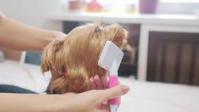 Vrouw die haar hond borstelen hond grappige video meisje die de een weinig ruwharige zorg van het hondhuisdier kammen vrouw die e stock video