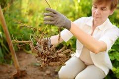 Vrouw die installatie in huistuin opnieuw planten Handen en dichte omhooggaand van de installatiewortel royalty-vrije stock afbeeldingen