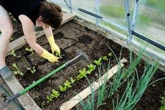 Vrouw die jonge zaailingen planten Stock Fotografie