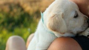 Vrouw die kleine het puppyhond van Labrador op haar schouder houden stock video