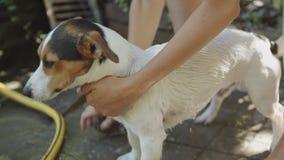 Vrouw die kleine hond baden stock video