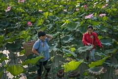 Vrouw die Lotus plukken Royalty-vrije Stock Afbeeldingen