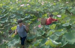 Vrouw die Lotus plukken Stock Foto