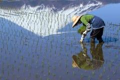 Vrouw die Rijst plant Stock Afbeeldingen
