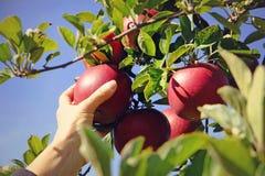 Vrouw die rode appelen plukken van de boom stock afbeelding