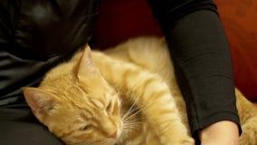 Vrouw die Rode Cat Lying op de Laag strijken stock videobeelden