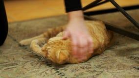 Vrouw die Rode Cat Lying op het Tapijt strijken stock videobeelden
