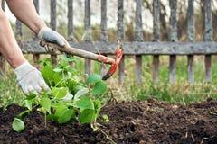 Vrouw die snijboonzaailingen in de grond planten royalty-vrije stock afbeelding