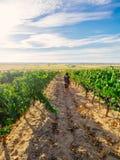 Vrouw die in Spaanse wijngaard lopen Stock Foto