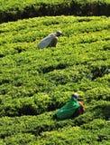 Vrouw die in theeaanplanting werken Royalty-vrije Stock Foto's