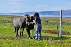 Vrouw die twee mooie Ijslandse paarden op een weiland voeden dichtbij Husavik royalty-vrije stock fotografie