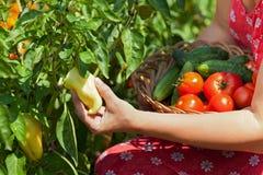 Vrouw die verse groenten in de tuin plukken - close-up Stock Foto