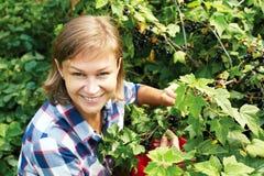 Vrouw die verse organische zwarte bes plukken royalty-vrije stock foto's