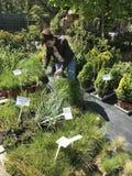 Vrouw die voor nieuwe installaties en bloemen bij het tuinieren en installaties openluchtverkoper winkelen stock afbeelding