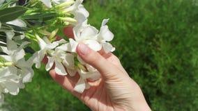 Vrouw die witte mooie bloemen in hand houden Vrouwelijke hand wat betreft tot bloei komende boom in langzame motie stock video