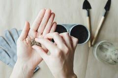 Vrouw die zaden van peterselie, dille, basilicum planten Royalty-vrije Stock Afbeelding