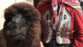 Vrouw en lama dichte omhooggaand in cusco, Peru stock videobeelden