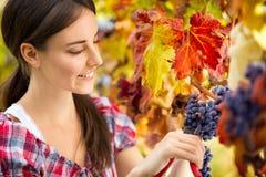 Vrouw het oogsten druif royalty-vrije stock foto's