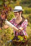 Vrouw het oogsten druiven Stock Foto