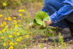 Vrouw het plukken clotsfoot bladeren voor het drogen Royalty-vrije Stock Foto