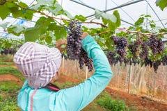 Vrouw het plukken druif Royalty-vrije Stock Afbeelding