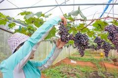 Vrouw het plukken druif Stock Fotografie
