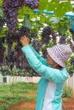 Vrouw het plukken druif Stock Afbeeldingen