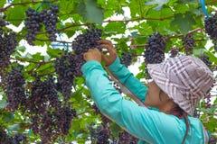 Vrouw het plukken druif Royalty-vrije Stock Foto