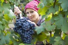 Vrouw het plukken druiven Stock Foto's