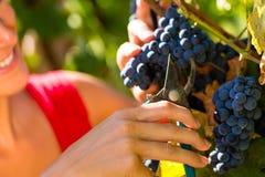 Vrouw het plukken druiven met scheerbeurt Stock Foto
