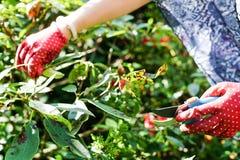Vrouw het snoeien bloeiende struiken Stock Foto's