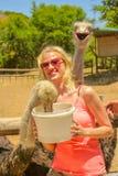 Vrouw het voeden Struisvogels Royalty-vrije Stock Afbeelding