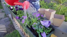 Vrouw het water geven viooltjebloemen op haar tuin van het stadsbalkon Stedelijk het tuinieren concept stock videobeelden